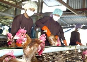 URUGUAY. Tirarán 200 mil dosis si los empleados de las avícolas no se vacunan.