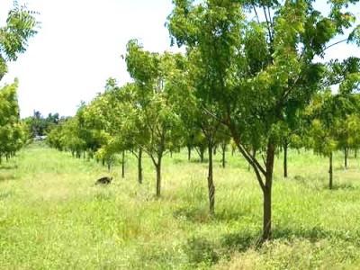 Descubren un árbol que ahuyenta el mosquito del dengue.