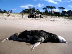 Un lobo muerto sólo estuvo 20 minutos apestando la playa