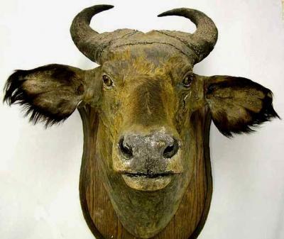 ¿Cuánto vale una cabeza de búfalo asiático disecada?