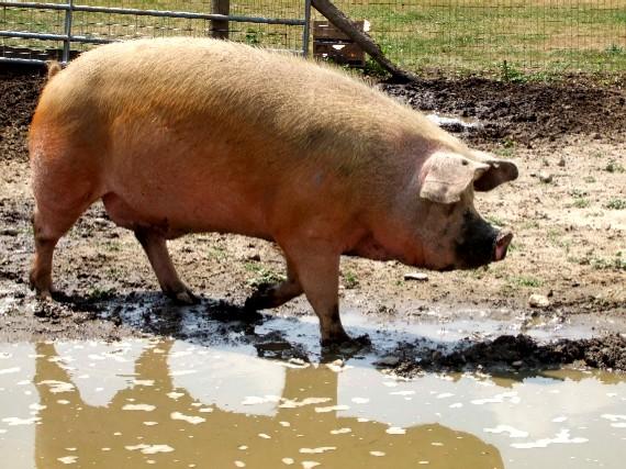 Gripe porcina: la culpa tampoco la tiene el chancho